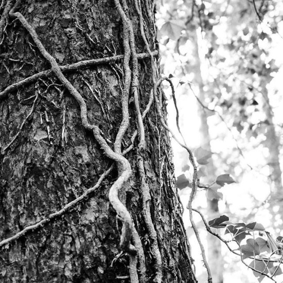 Trunk and vine